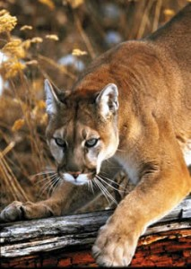 Cougar.  Credit:  WDFW