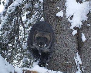 Associated with deep snow that persists into springtime, the wolverine is the largest land dwelling member of the weasel family. Credit: Conservation Northwest