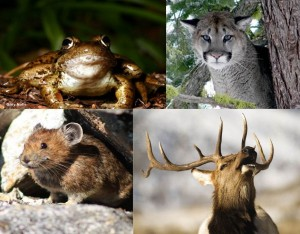 From top left clockwise: Cascade frog, cougar, elk, and pika. Credit: WDFW
