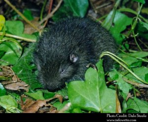 Some scientists think the mountain beaver (aka Sewellel) is the world's most primitive living rodent, similar in appearance and behavior to animals that lived 60 million years ago. Credit: Dale Steele
